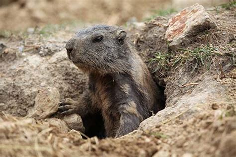 groundhog day meaning dictionary groundhog noun definition and synonyms macmillan