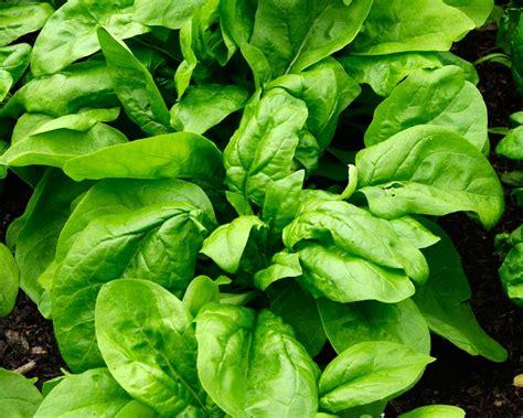 gardensonline spinacia oleracea