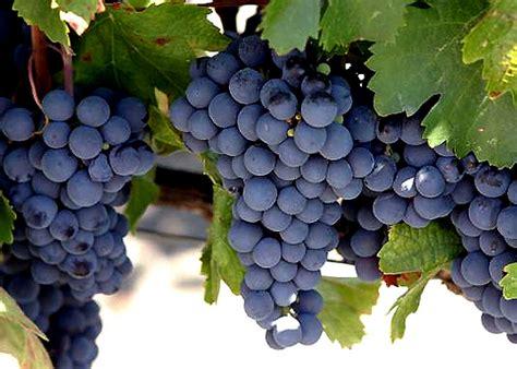 imagenes de uva malbec pregon agropecuario argentina tiene la primera planta