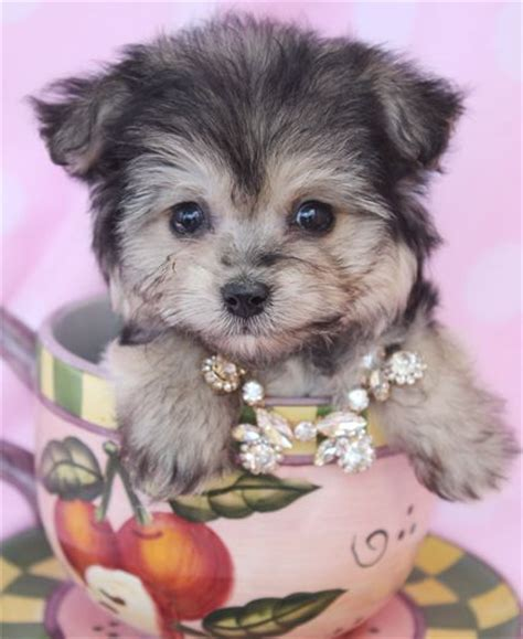 morkie puppies for sale in florida morkie puppies for sale for sale and florida on