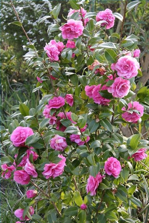 how to take care of rose bushes