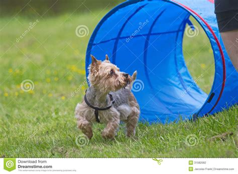 how to a for agility competition terrier at the agility competition stock photography image 31582582