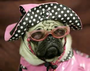 pug with goggles pug wearing sunglasses photos animals in sunglasses ny daily news