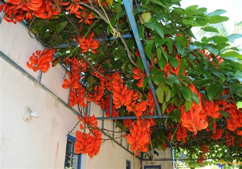 tanaman flame  irian   cm bibitbungacom