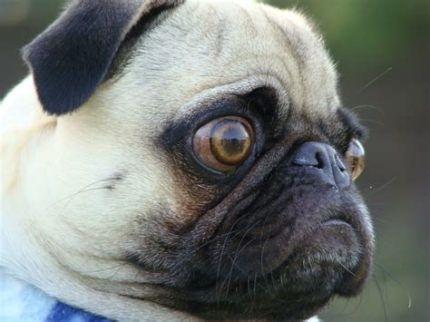 pug problems terrierman s daily dose how farked up are pugs