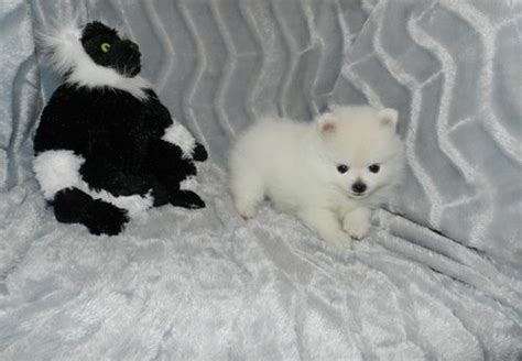 pomeranian breeders montreal amazing white pomeranian puppies