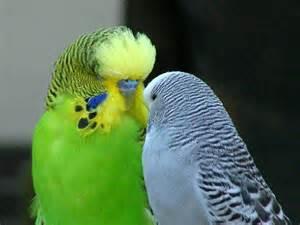 breeding parakeets