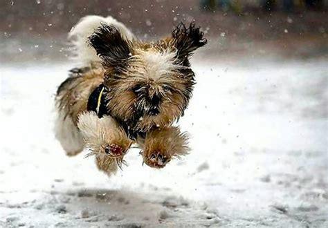 shih tzu running running shih tzu coming your way gracie lu shih tzu