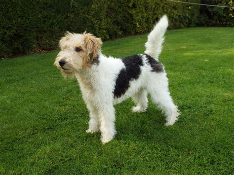 wire hair fox terrier puppies image gallery wirehaired terrier