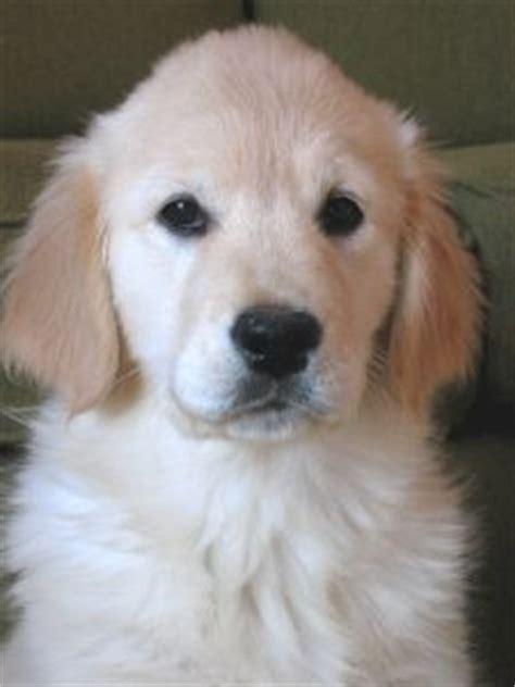 golden retriever puppies albuquerque golden retriever puppy 10 weeks otras razas de perros de traba