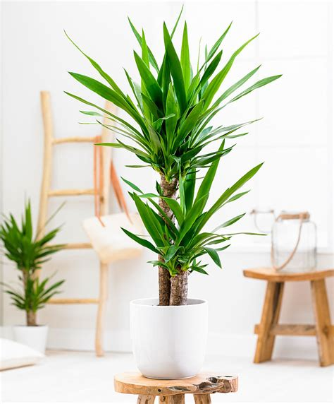 buy house plants buy house plants now yucca 2 trunks bakker com