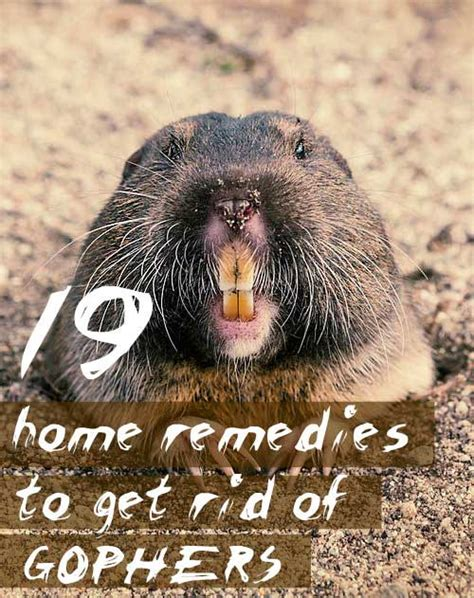 how to get rid of gophers in your backyard 19 home remedies to get rid of gophers