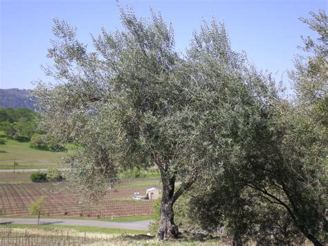 olive tree olive tree pictures general information on olive trees