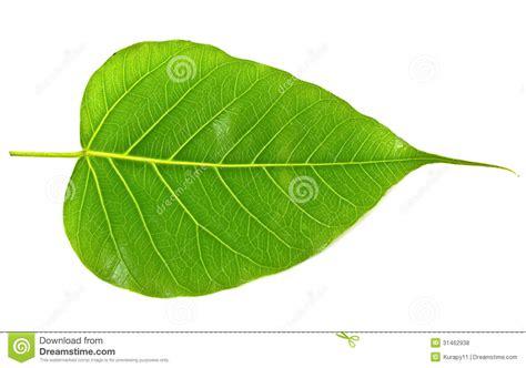 Bodhi Leaf green bodhi leaf vein royalty free stock photos image 31462938