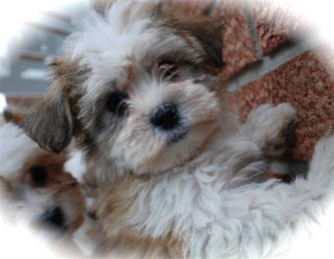 maltese x poodle maltipoo hypoallergenic non shedding for