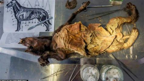 ice age mummified puppy  oldest   mental floss
