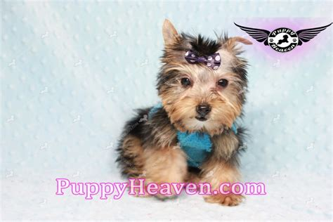 yorkie puppies los angeles liam neeson teacup yorkie puppy in los angeles found a new loving home