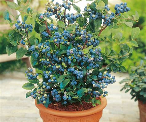 Bibit Blueberry cara menanam blueberry