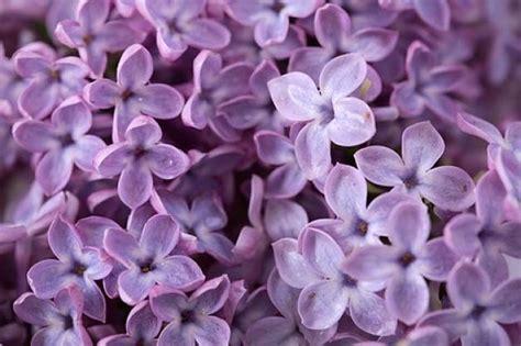fiori color lilla fiori lill 224 fiori di piante