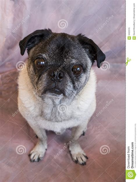 oldest pug sweet pug royalty free stock photo image 3452515