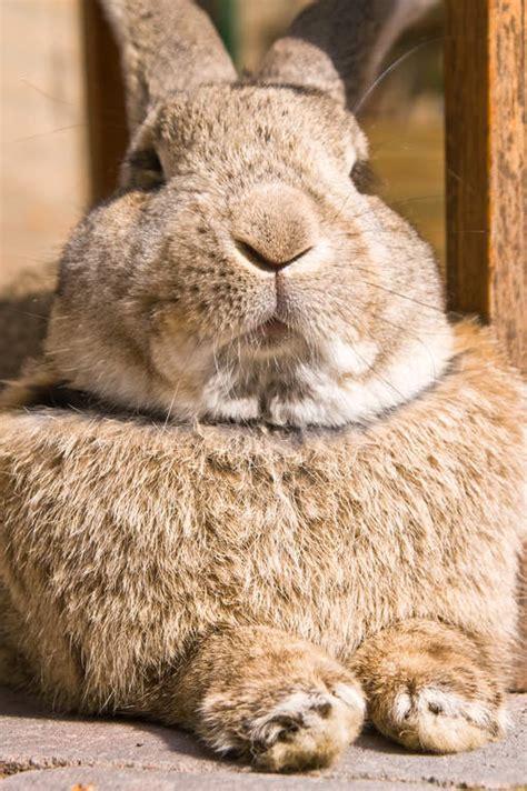 flemish giant  sale rabbits breed information omlet