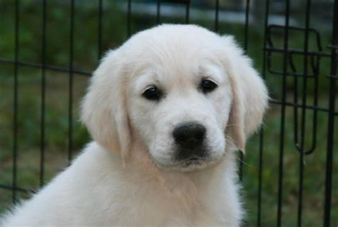 golden retriever breeders in western pa breeders to investigate for possible puppies a listly list