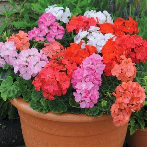 imagenes de jardines con geranios cinco flores de verano para macetas fundaci 243 ilersis