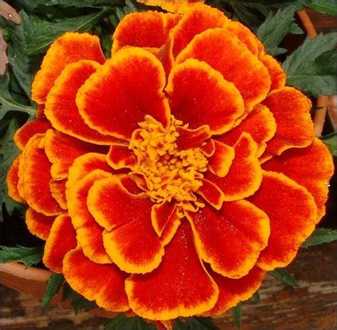 list of fall flowers the organic gardener list of autumn flowers