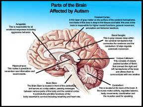 Sections Of The Brain And What They by Parts Of The Brain Affected By Autism Studyautism