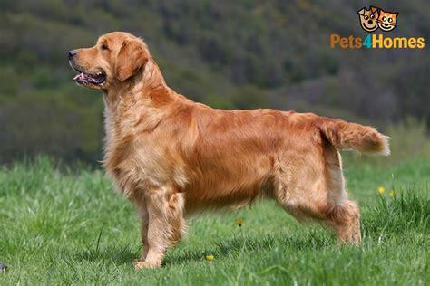 Golden Retriever Dog Breed Information, Buying Advice