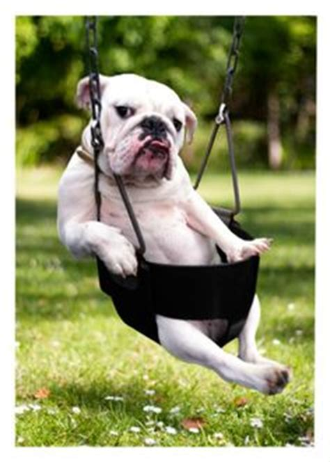 bulldog in a swing baggy bulldog fb group on pinterest bulldogs php and