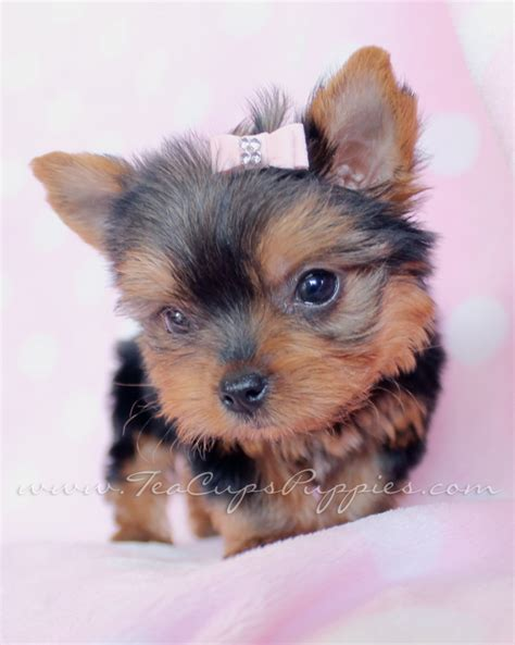 micro yorkies for sale pin tiny teacups yorkies on
