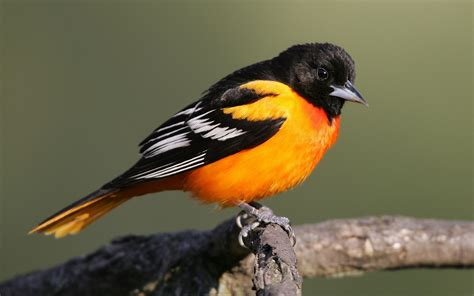 a bird with orange breast and black tail wallpapers and