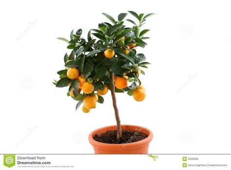 tree with small orange fruit orange tree with small fruits stock photo image 4020836
