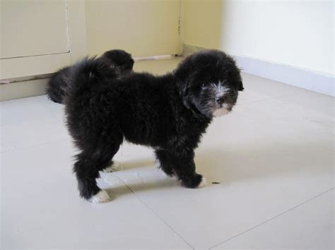 lhasa apso puppies price lhasa apso puppies for sale hamid gh 1 15230 dogs for sale price of puppies