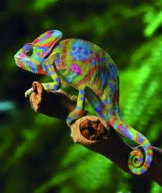chameleon changing color colorful chameleons