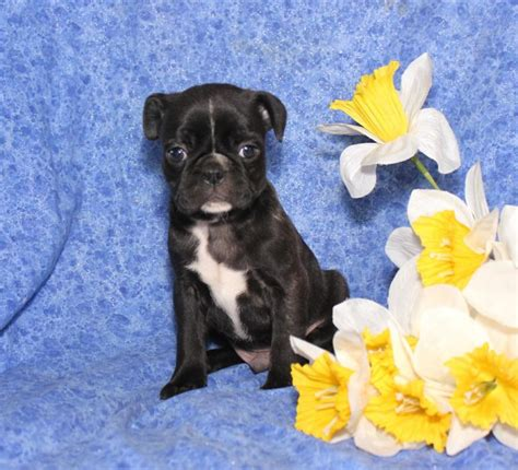 puppies for sale in maine classifieds boston terrier pug mix puppies for sale in maine breeds picture