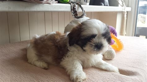 shih tzu puppies for sale in hertfordshire shih tzu puppies for sale potters bar hertfordshire pets4homes