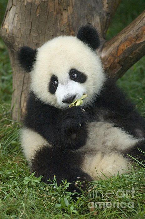 panda for sale pandas photographs and posters for sale on