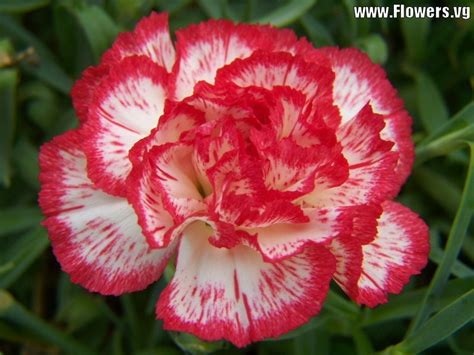 carnation flower picture of a carnation flower beautiful flowers
