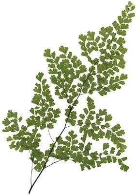 Diy Decor hi res image of maidenhair fern large frond