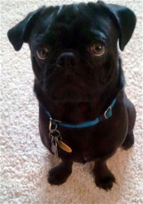 cutest pug in the world cutest pug in the whole world pretty things world pug and the o jays