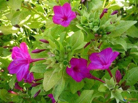fiori di notte la di notte piante annuali caratteristica della