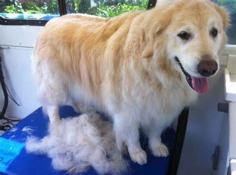 Hair Shedding In Dogs by Dogs Shedding Hair