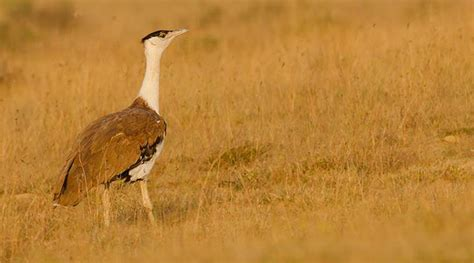 Birth Records India Desert National Park Records 11 Great Indian Bustard Births The Indian Express