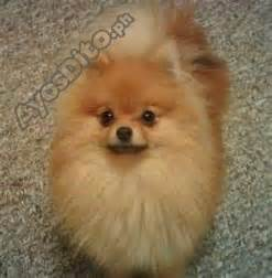 pomeranian for sale ayosdito 1000 ideas about pomsky for sale on pomsky puppies pomsky puppies for