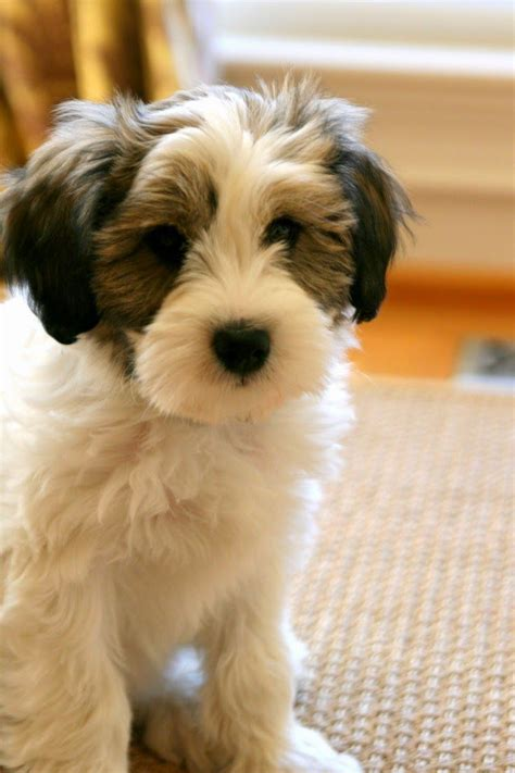 dogs for apartments best 25 tibetan terrier ideas on tibetan breeds terrier breeds and
