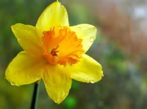 Leek Flower - y daffodil cyntaf ni welwyd un eriod mor llon 194 th fantel flickr