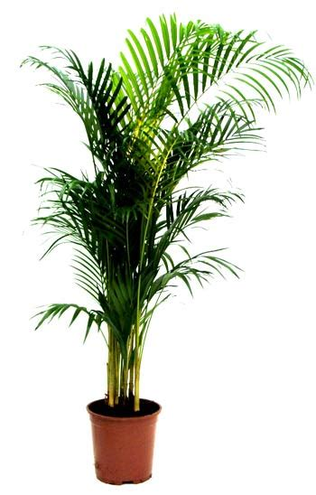 indoor palm dypsis lutescens areca palm golden cane palm