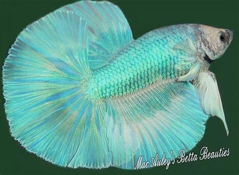 Do Betta Fish Need Light by 788 Best Images About Bettas On